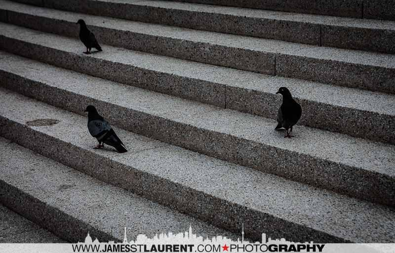 Montreal Pigeins